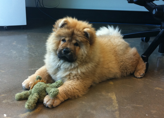 Zeeva our little Chow Chow at work